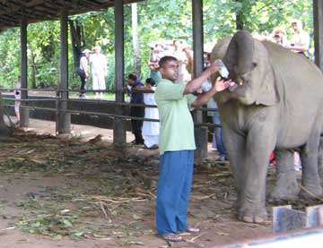 Слоновий питомник Шри-Ланка - кормежка малышей